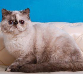 Galax-cat Anastasia